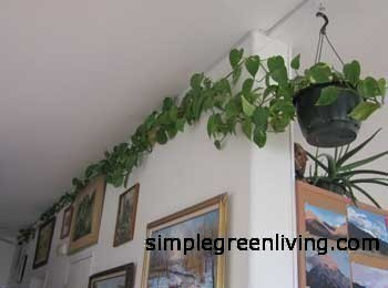 climbing philodendron with heart shaped leaves