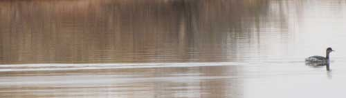 duck swimming in Sumner Lake, NM