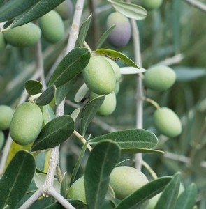 Unpicked Olives