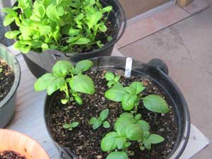 basil and arugula growing in containers