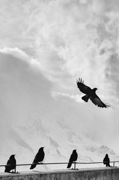 a raven flies while others watch