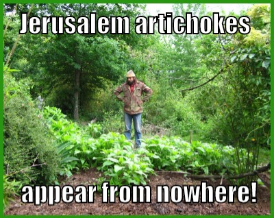jerusalem artichoke image from flickr