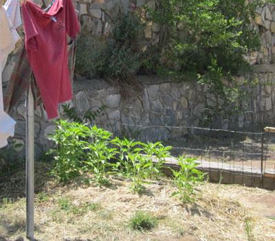 jerusalem artichokes between clothesline and driveway