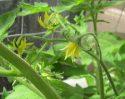 tomatoplantinbloom