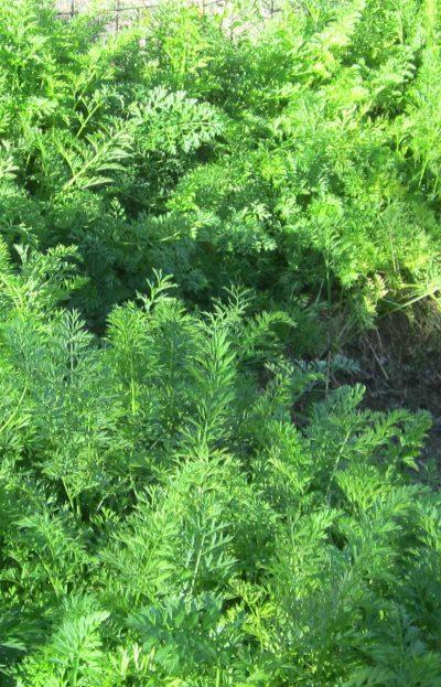 augustgarden-carrotjungle