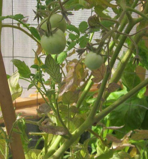 augustgarden-tomatoesingree