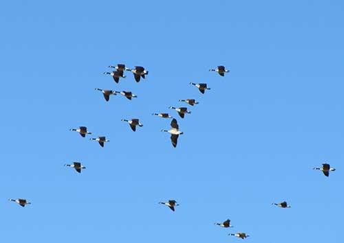 claytonlake4-geese